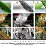 Figure 3: Sample images used in separate experimental settings from the three distinct variants of the Plant Village data set. (A) Leaf1 color, (A1) Leaf1 grayscale, (A2) Leaf1 segmented, (B) Leaf2 color, (B1) Leaf2 grayscale, (B2) Leaf2 segmented, (C) Leaf3 color, (C1) Leaf3 grayscale, (C2) Leaf3 segmented.