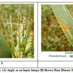 Fig. 8. (A) Apply as an Input Image (B) Brown Rust Disease Detected
