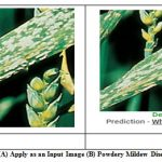 Figure 9: Fig. 9. (A) Apply as an Input Image (B) Powdery Mildew Disease Detected