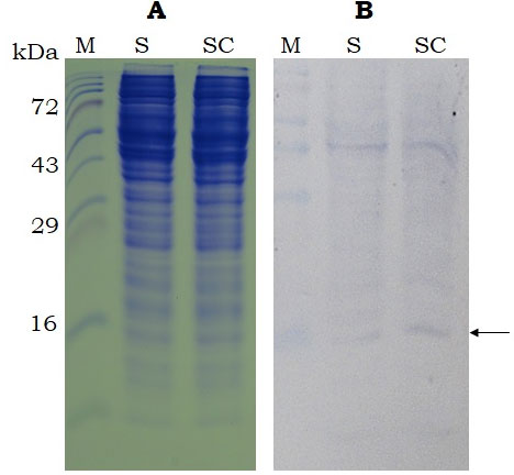 Figure 3. SDS-PAGE (15%, A) and Western-blot (B, using anti-histidine antibody) analysis of the recombinant sericin and sericin-cecropin B proteins expressed using cell-free expression system. Proteins were collected after 4 h of incubation. M- Protein marker (Puregene), S- sericin, SC- sericin-cecropin B. Arrow indicates target band of ~ 16kDa.