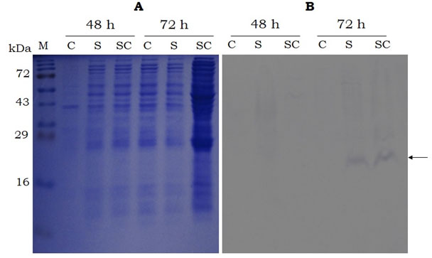 Figure 4. SDS-PAGE (15%. A) and Western-blot (B, using anti-histidine antibody) analysis of the sericin and sericin-cecropin B proteins secreted by P. pastoris(strain 2) in to the growth medium after 48 and 72 h of induction. M- Protein marker (Puregene), C- control (proteins from P. pastors harbouring empty vector), S- sericin, SC- sericin-cecropin B. Arrow indicates target band of ~ 20kDa.