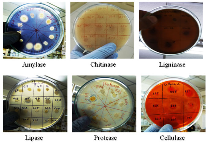 Figure 3: Culturable bacterial isolates from mangrove sediments showing various enzyme activities