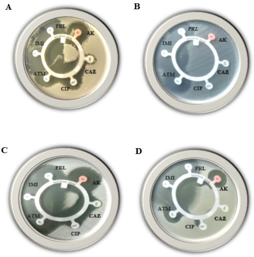 Figure (1): Disk-diffusion susceptibility test for the Gram-positive bacteria; Bacillus cereus (A), Enterococcus faecalis (B), Staphylococcus aureus (C) and Staphylococcus saprophyticus (D), using AK, CAZ, CIP, ATM, IMI and PRL antibiotics.