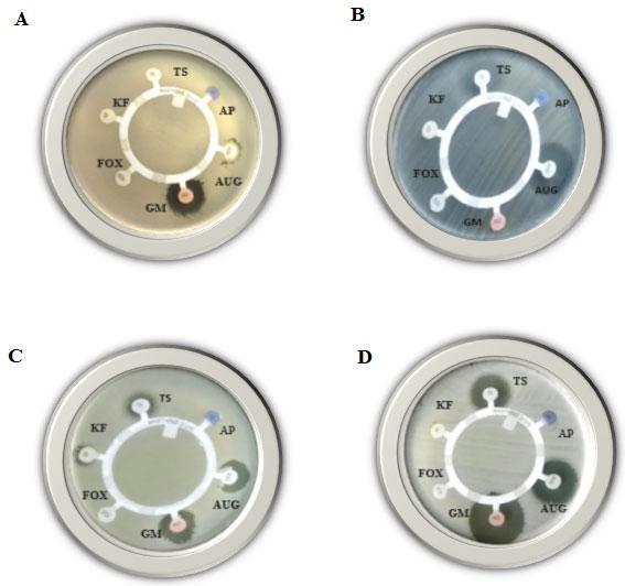Figure (2): Disk-diffusion susceptibility test for the Gram-positive bacteria; Bacillus cereus (A), Enterococcus faecalis (B), Staphylococcus aureus (C) and Staphylococcus saprophyticus (D), using AP, AUG, GM, FOX, KF and TS antibiotics.