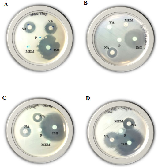 Figure (3): Disk-diffusion susceptibility test for the Gram-positive bacteria; Bacillus cereus (A), Enterococcus faecalis (B), Staphylococcus aureus (C) and Staphylococcus saprophyticus (D) using IMI, MEM, VA, NA and P antibiotics.
