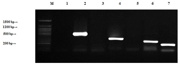 Figure (4): Detection of Bacillus cereus antibiotic resistance genes of DNA plasmids using agarose gel electrophoresis of the PCR products. Lane 1, ampR; 2, blashv-12; 3, penA1; 4, ampC1; 5, aac4A-cr; 6, ampC2; 7, penA2 and M refers to 50 bp DNA ladder.