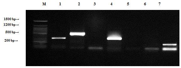 Figure (5): Detection of Bacillus cereus antibiotic resistance genes of chromosomal DNA using agarose gel electrophoresis of the PCR products. Lane 1, ampR; 2, blashv-12; 3, penA1; 4, ampC1; 5, aac4A-cr; 6, ampC2; 7, penA2 and M refers to 50 bp DNA ladder.