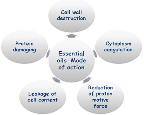 Fig. 5. Diagrammatic representation of essential oil actions on fungal cell