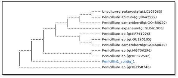 Figure 3. Dendrogram showing phylogenetic analysis based on the ITS region and NCBI GenBank database for P. chrysogenum strains (Sample name :Penicillin1_contig_1).