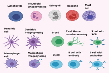 Fig. 1: Cells of the immune system.