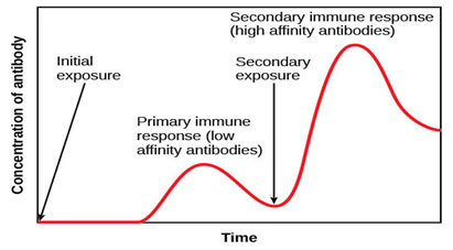 Fig 4: Primary response shows the initial production of antibodies from plasma cells. Memory cells differentiate to plasma cells after the same microbe will expose. Differentiated plasma cells induce antibodies that will continuously discharge a large number of antibodies (Paul 2015).
