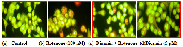 Fig. 5 (A) Photo micrograph illustrates apoptotic morphological changes in SK-N-SH cells treated with diosmin and rotenone.