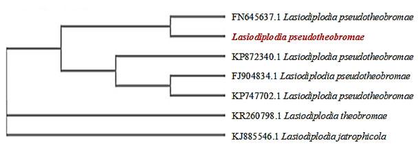 Fig 03: Cladogram of Lasiodiplodia pseudotheobrome