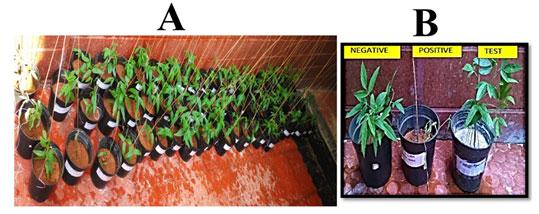 Fig 05: In vivo studies: A: Triplicates of Pigeon pea plant; B: Representative figure-Trichoderma viridae.