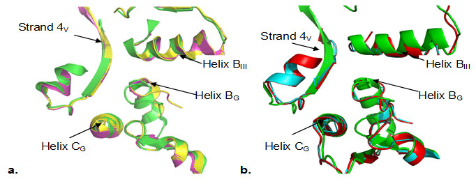 Fig2. Superimposition of Cα traces of crystal structure of EF-G from T. thermophilus (green), S. aureus (magenta) with homology models of EF-G from B.anthracis (yellow), , M. tuberculosis (cyan) and M.leprae (red). Superimposition of Cα backbone coordinates of EF-G from T. thermophilus with homology models showed root – mean - square deviations (rmsd's) of 1.24 Å in case of M. tuberculosis, 1.29 in case of M. leprae and 0.72 Å in case of B. anthracis respectively. The crystal structure of EF-G from T. thermpophilus when superimposed with crystal structure of S.aureus (PDB 2xex) showed rmsd of 0.71 A.This reflects quite conservation of the overall fold of the protein in case of EF-G from these gram positive bacteria suggesting strong conservation of the tertiary structure. It has been proposed that the probable binding site of fusidic acid is domain interface (Belardinelli and Rodnina 2017). Some of the key residues located at this interface are Thr84, Phe90, His458, Asp435, Thr437, G453, which are highly conserved in all the sequences (Fig.1).A close inspection of the domain interface of the models revealed, the putative binding pocket is also significantly conserved at structural level. The important elements of this interface are helix BG and helix CG from G domain, helix BIII and strand 4V from domain III and domain V respectively (Fig.3).