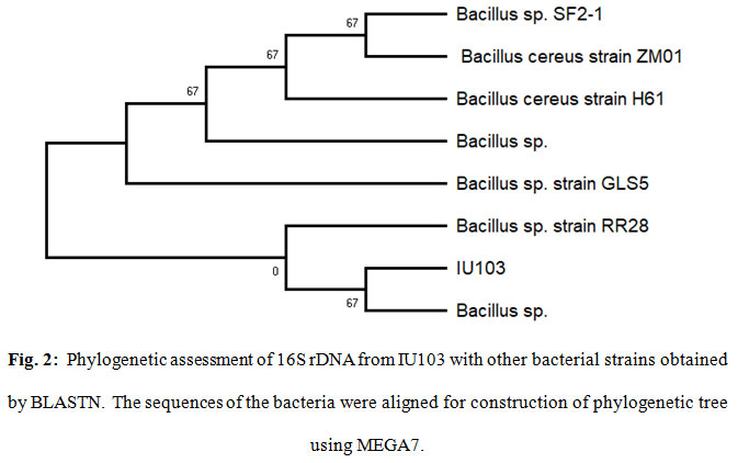 Figure 2:Phylogenetic assessment of 16S rDNA from IU103 with other bacterial strains obtained by BLASTN. The sequences of the bacteria were aligned for construction of phylogenetic tree using MEGA7.