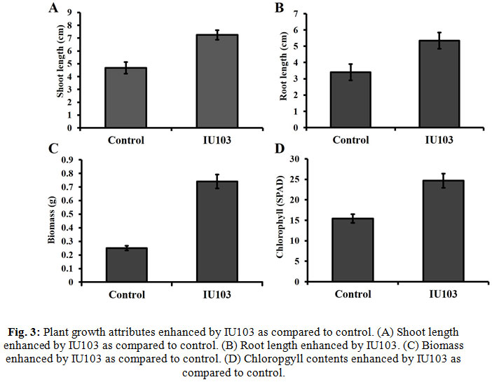 Plant growth attributes enhanced by IU103 as compared to control. (A) Shoot length enhanced by IU103 as compared to control. (B) Root length enhanced by IU103. (C) Biomass enhanced by IU103 as compared to control. (D) Chloropgyll contents enhanced by IU103 as compared to control