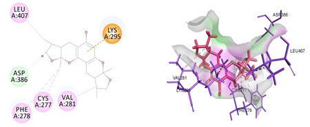 Figure 6. Docked poses of SRC druggable cavity with xyloketal B. Interactions are shown as dashed lines between receptor residues and ligand atoms. Asp386 formed the carbon hydrogen bond interaction, Leu 407, Cys 277, Val 281, Phe 278 were the residues involved in pi-alkyl bonding pink colored dashed lines, then Lys 295 mediated pi cation interaction with the receptor SRC.
